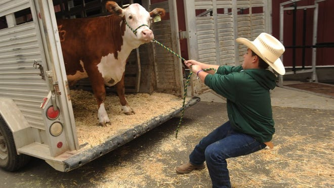 ROB VARELA/THE STAR In a battle of will versus weight, Phillip Theising, of Fillmore, a member of the Bardsdale 4H Club, struggles to unload his steer, Milky Way, in the livestock area of the Ventura County Fair.