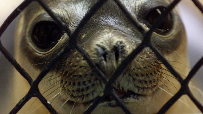 A female hooded seal waits to be fed March 1, 2001, at the Marine Mammal Stranding Center in Brigantine, N.J.