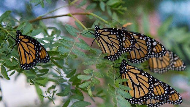 Monarch butterflies gathered at Lester Public Library in Two Rivers.