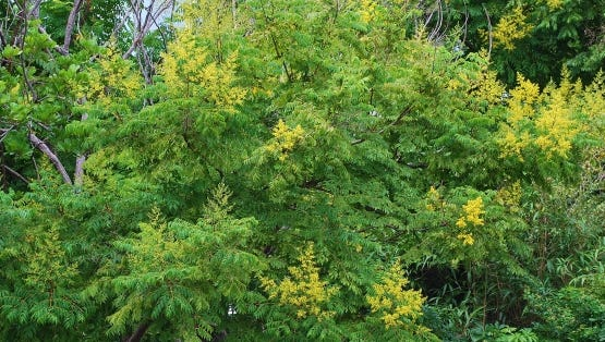 Pretty Golden Rain Tree is messy in the landscape and seedlings pop up where they are not wanted.