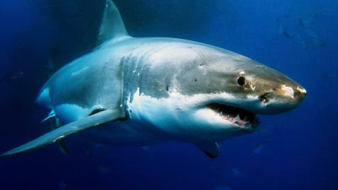 On average, the United States — minus Alaska and Hawaii — records about 16 shark attacks annually, of which one person dies every other year.