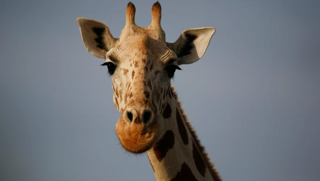 A giraffe from Africa's most endangered giraffe subspecies stands in the bush near Koure, Niger, in 2009.
