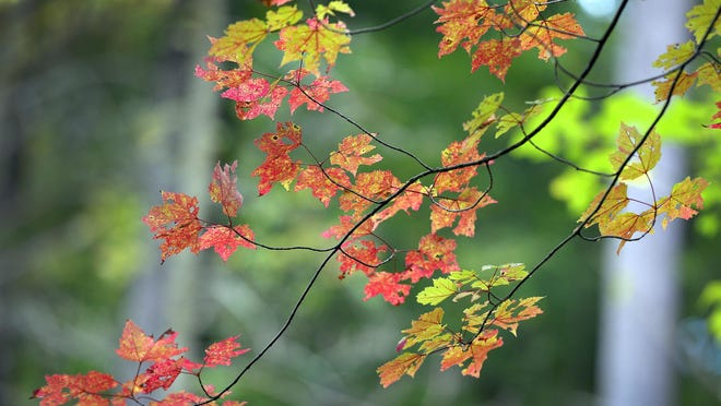 Maple leaves in their brilliant fall colors add visual interest to the walk along the Old St. Joe Road Trail.