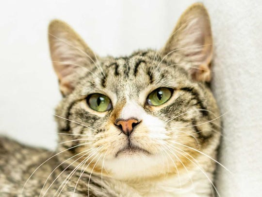 Taffy - Male domestic short hair, adult. Intake date:5-11-2018