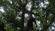 Manny Castro, from Alexander Tree Service, makes his way toward the orange cat stuck in the tree.
