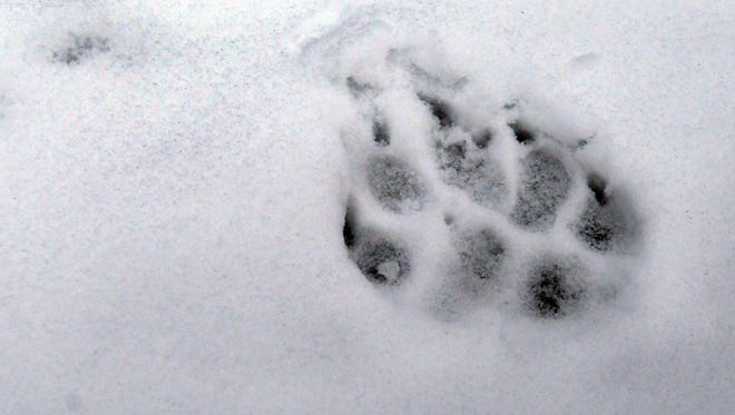 A wolf track that was left near the carcass of an elk in Avery, Idaho.