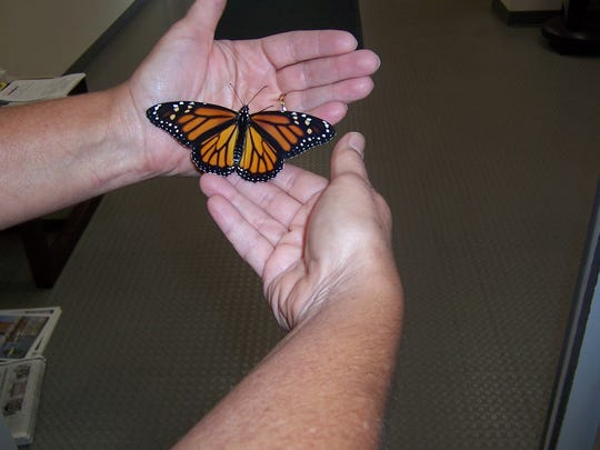 A monarch butterfly is ready to be released.