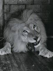 Shorty the lion sits down to dinner at Milwaukee's Washington Park Zoo in this photo, published in The Milwaukee Journal on April 29, 1949.