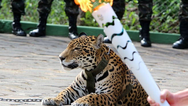 The Olympic Torch, held by an athlete, is seen by a jaguar --symbol of Amazonia-- during a ceremony in Manaus, northern Brazil, on June 20, 2016.   The jaguar, who was named Juma and lived in the local zoo, had to be shot dead by soldiers shortly after the ceremony when he escaped.