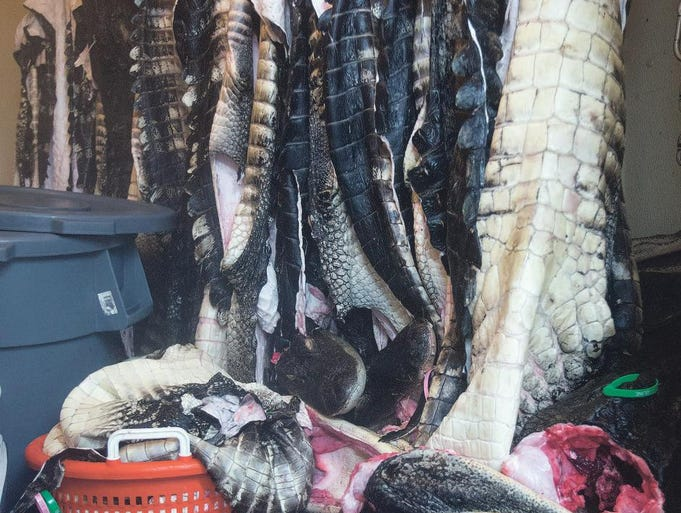 The skins of dozens of alligators caught by hunters hang in a cooler at Townsend and Sons.