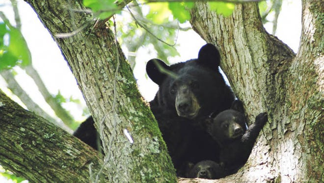 Black bears, like the ones seen here, have been spotted in Fairview Township this week, according to Fairview Township Police.