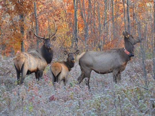 Elk browse in the Chequamegon-Nicolet National Forest near Clam Lake in October, 2013.