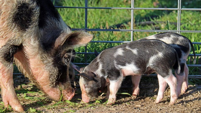An Ossabaw Island Hog mother and two babies born at Davis Farmland, in Sterling.
