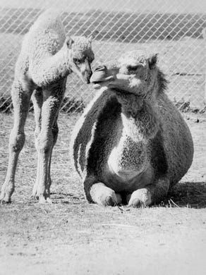 1977 Five week old camel and mom rub noses.