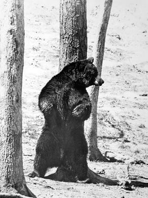 1980: A bear uses a tree to scratch his back at Great Adventure Safari Park.