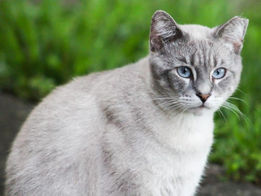 Tipped-ear cat