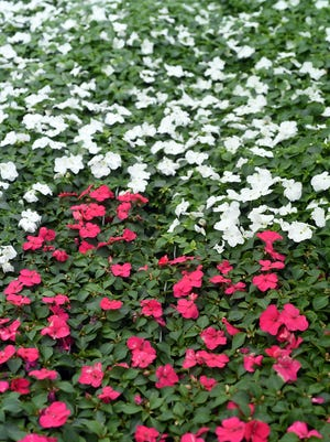 A large section of colorful Impatiens are ready to plant at Camp's Plants.