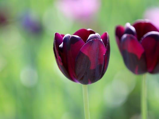 636607684511126864-tulips2.jpg