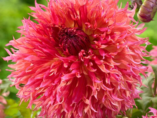 Myrtles Folly is a kind a dahlia.