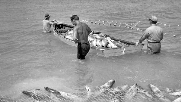 View showing commercial seine net fishermen with their boat full of snook in Naples, Florida.