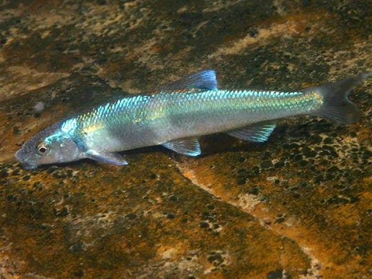 The Spot fin chub, a medium- to large-size minnow, has largely decreased throughout its native habitat in the Upper Tennessee River System. After placement on the N.C. Wildlife Action Plan and active management practices, the fish, sensitive to sedimentation and silt, is making a comeback in the Cheoah River.