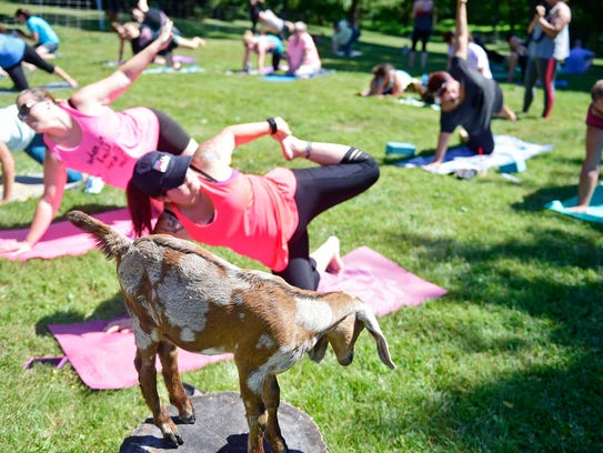 Goat yoga, which has become more popular across the nation, has reached South Texas. Youga Yoga, a downtown yoga studio, has partnered with Thompson Dairy Farms, for a session at this weekend's Food and Wine Festival in Heritage Park in Corpus Christi.