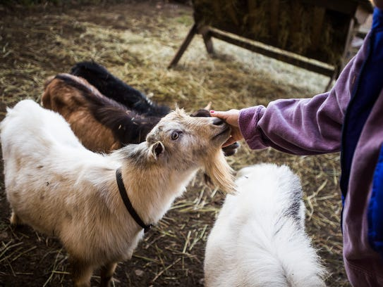 , owner of Oak Hill Fainting Goats, pets Gizmo, a male fainting goat ...