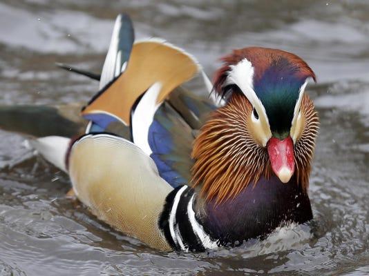 Central Park Duck Craze