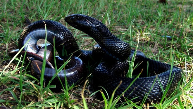 This photo by Jim Lee of The Nature Conservancy shows a black pinesnake, listed as a threatened species.
