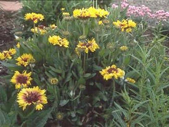 -blanket flower.jpg_20060821.jpg