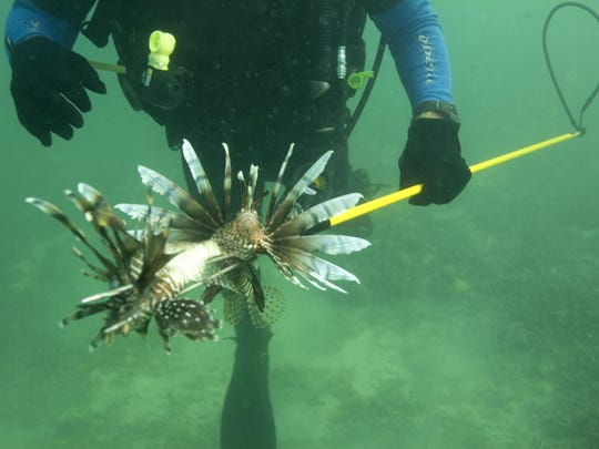 A diver spears two lionfish off the coast of Summerland Key during a lionfish derby in the lower keys Saturday, November 13, 2010.