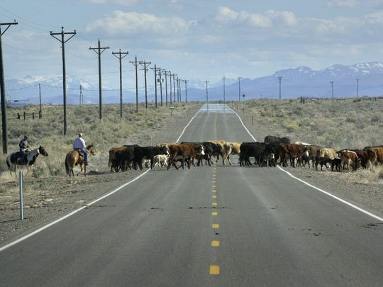 Cattle cross a road in Paradise Valley in 2002.