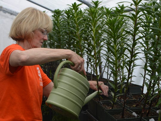 Cindy Williams, a member of the Master Gardeners Plant Sale, waters a groups of lilies to ready for the May 6 plant sale.
