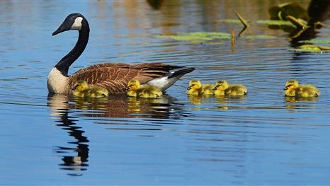 Five goslings swim close to their mother goose, Wednesday, May 11, 2016, at Snag Pond in Gouldsboro, Pa. (Butch Comegys/The Times & Tribune via AP) WILKES BARRE TIMES-LEADER OUT; MANDATORY CREDIT