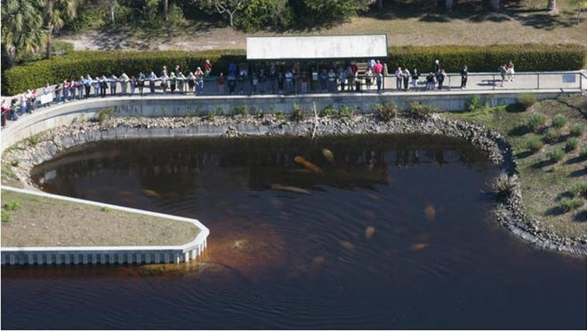Cool mornings and winter days are great times to view manatees at Manatee Park.