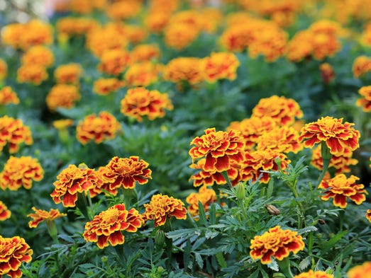 1. Marigolds.  The flowers' aroma not only repels mosquitoes