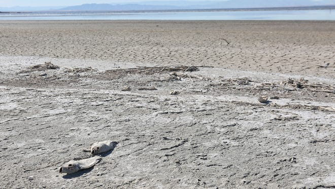 Dead fish at Red Hill Bay along the Salton Sea, where the shoreline has been receding for years.