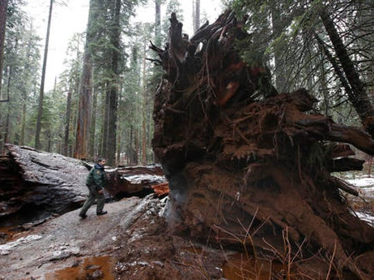 """California State Parks Supervising Ranger Tony Tealdi walks to the fallen Pioneer Cabin Tree at Calaveras Big Trees State Park, Monday, Jan. 9, 2017, in Arnold, Calif. Famous for a """"drive-thru"""" hole carved into its trunk, the giant sequoia was toppled over by a massive storm Sunday."""