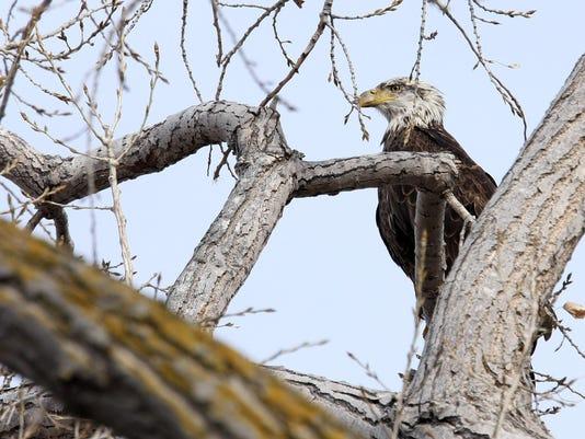 bald eagle yankton gavins point