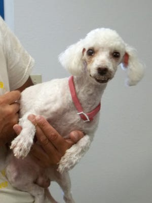 Snow White is a four-year-old male Poodle.  He has special needs.  His lower lip was removed at sometime resulting in paralysis in the face