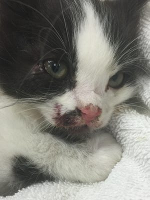 Kitten recovered Thursday at Tiny Town Animal Clinic.