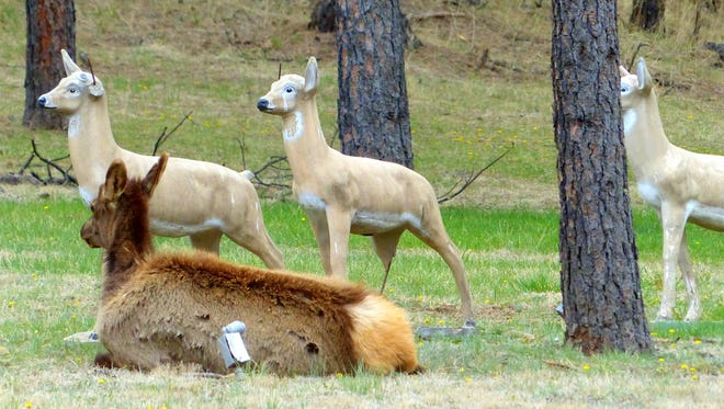 Movement must not be a high priority for elk freindship.