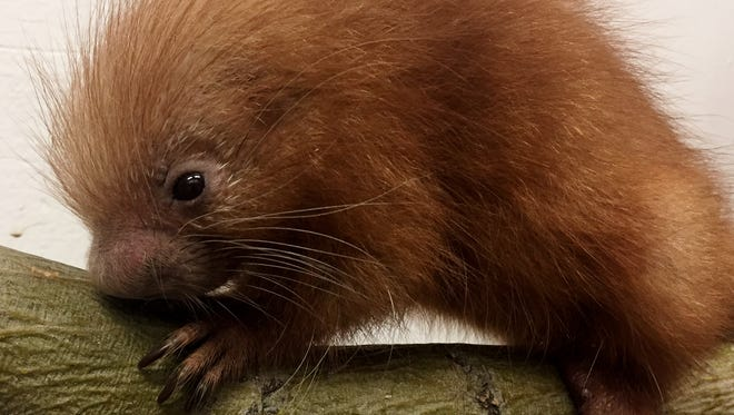 The new .95-pound baby prehensile-tailed porcupine is the first born at the El Paso Zoo.