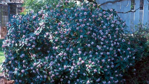 At 4 feet by 6 feet, winter daphne is loaded with incredibly fragrant purplish flowers February through March.