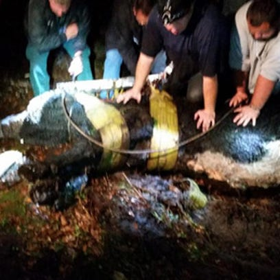 Hillsborough deputies pull a 1,000-pound bull from