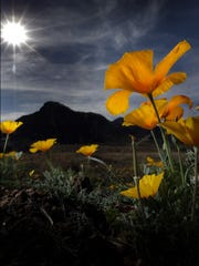 Poppies bloom each year on Castner Range. An effort