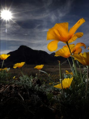 Poppies bloom each year on Castner Range. An effort by U.S. Rep. Beto O'Rourke to preserve it was passed Tuesday by the House of Representatives.