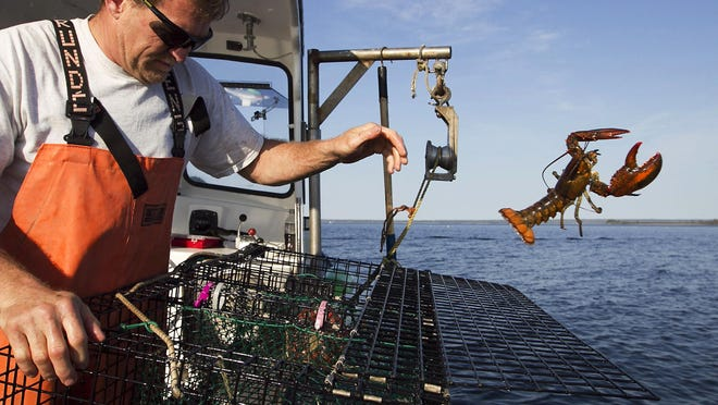 Scott Beede returns an undersized lobster while fishing in Mount Desert, Maine, in 2012.