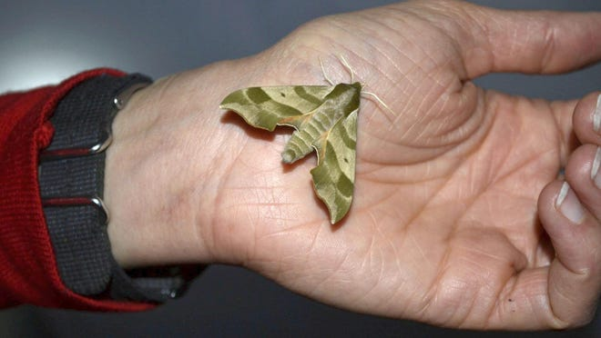 A Virginia creeper sphinx moth, with its distinct army camouflage-like pattern, rests on the hand of St. Norbert College assistant art professor Katie Ries during opening night for The Moth Project on June 10 at the Tsyunhehkwa agricultural center in Oneida.