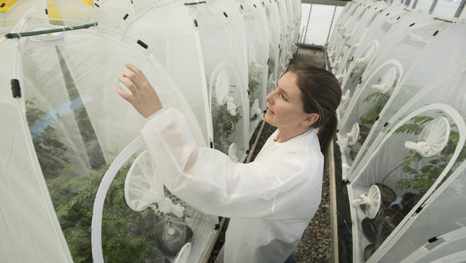 """Radabaugh of the California Department of Food and Agriculture, inspects one of the """"bug dorms"""" in a greenhouse on the Cal Poly Pomona campus. Late last month, the univesity unveiled a completed 5,040-square-foot expansion of the facility where tiny Tamarixia radiata wasps are bred. The insects — not big enough to sting humans — are natural parasites Asian citrus psyllid and will be released to reduce psyllid populations in Southern California. University officials expect to produce, on average, about 30,000 of the wasps a week."""